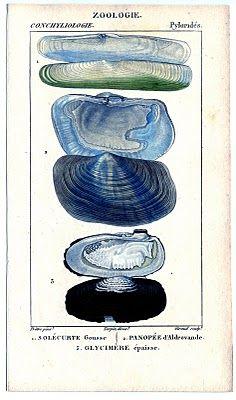 seashel print, natural history, vintage prints, clam, graphics fairy, seashell art, beach, natur histori, antiques