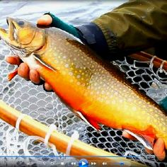 Wild brook trout - now that's a beautiful fish.  I wish I had been the one who caught it!   #brooktrout #wildtrout #brookie #flyfishing