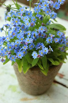 Forget Me Not -- this pin was actually about photography, but I wonder, can I grow forget me nots in a pot indoors? Going to have to research that.