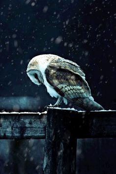 bird, winter snow, animals, art, amaz, beauti, barns, snowy owl, barn owls