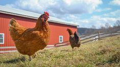 Chickens enjoying spring at Farm Sanctuary