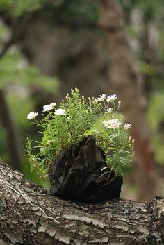 drift wood planter
