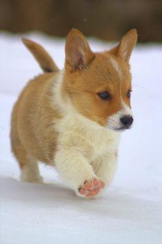 Corgi puppy, love those pink pads!!! #corgi