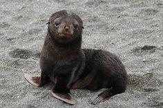 disney quotes, seals, funny pics, cutest babies, seas, sea lions, babi seal, baby faces, baby animals