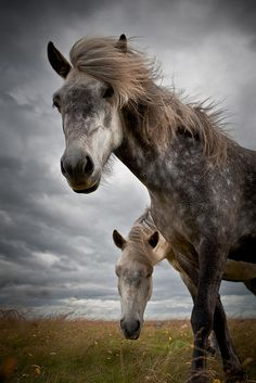 Icelandic horses © Johann Smari