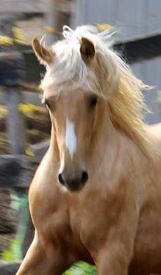 Palomino ♥ #horse #golden #mare #stallion #running #equine
