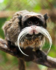 Emperor Tamarin, look at that mustache! !!!