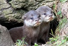 Otter pups - adorable!