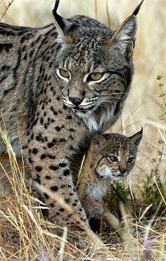Lynx mom and cub