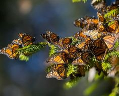 PHOTO GALLERY:Fewer Monarch butterflies are becoming 'snowbirds'