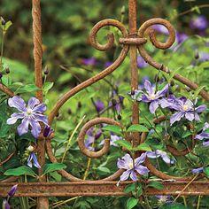 plant, irons, landscaping ideas, flowering vines, clematis, garden gates, wrought iron, old gates, iron gates
