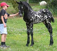 Mystic Warrior– Crossing a Friesian horse with an Appaloosa resulted in this looker!