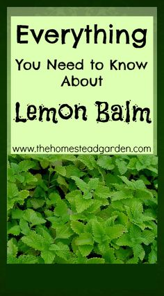 Everything You Need to Know About Lemon Balm