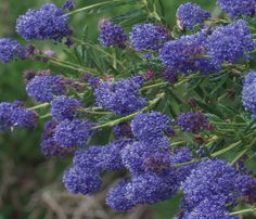 Ceanothus 'Concha' a shrub max 3m/3m but can be pruned to keep it small