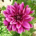 Dahlias: How to Plant, Grow, and Care for Dahlia Flowers