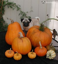 Pumpkin Farming:  Pug satisfaction: 2/10  Dog treat earnings: 10,000 per year (could be more, depends on crop yield)  Projected belly rubs: around 12,000 per year