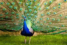 Michael Miller photo of a peacock with its feathers outstretched