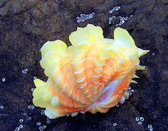 Ruffled Clam (Tridacna elongata)