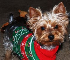 My boy Remi!!   Yorkies(: