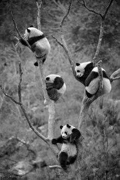 So many pandas!