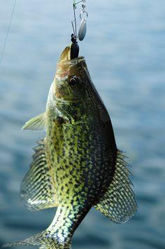 #crappie #fishing #hunting #fisherman #fish