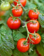 Tomatoes & Epsom Salt