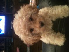 This is my Maltipoo, Bella Boo!