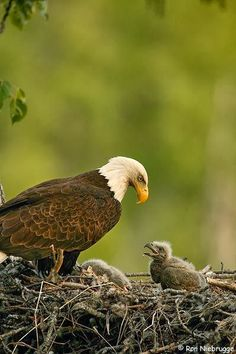 Eagle and her Chick