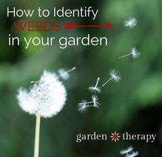 How to Identify Weeds in Your Garden - no special books needed, just common sense! #gardening #organic #natural #weeds