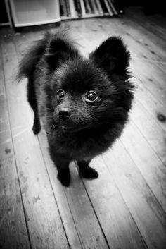 Black Pomeranian puppy. I adore this dog