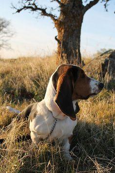 basset hound. Das mah baybay