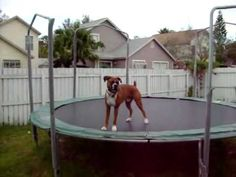 Emergency sadness fixer upper video Boxer Jumping on Trampoline