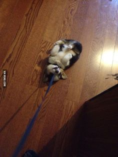 Want to walk my new corgi, but his refusal is just too darn cute.