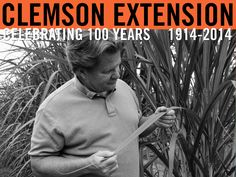 Dr Jim Frederick checking a research plot at the Pee Dee REC. Photo by Rebecca Dalhouse. #ClemsonExt100
