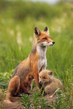Red Fox | Flickr - Photo Sharing!