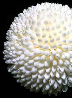 Chrysanthemum 'Pom Pom'