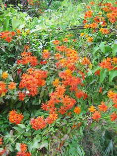 Mexican flame vine | The Lazy Gardener |