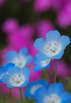 Pretty Little Blue Flowers. V