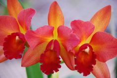 intergeneric Cattleya hybrid - See it at The Orchid Show www.chicagobotani...
