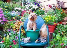 Yorkie - Dog, flower, garden, puppie, yorkie