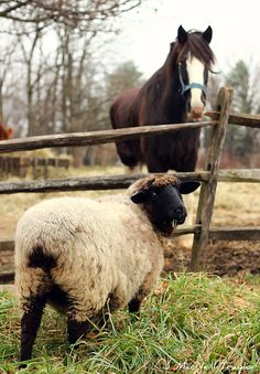 Black Sheep and Clydesdale Horse