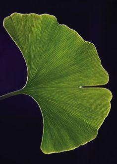 ginkgo leaf <3