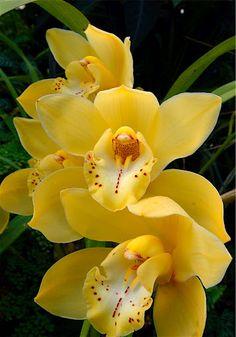 Yellow Cymbidium Orchid