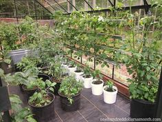 growing food tomatoes in a greenhouse