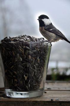 Chickadee at Cup of Sunflower Seeds.