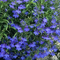 "Blue lobelia - Easy to grow annual that grows well in sun, part sun & shade in zones 2-11.  Growth abt 12"" high.  containers, beds, borders, slopes & groundcover."