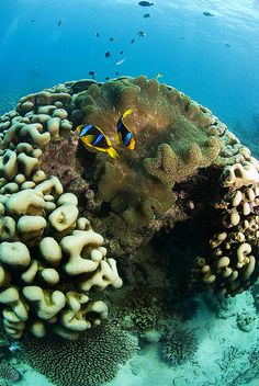 #clownfish #anemone #coral #reef