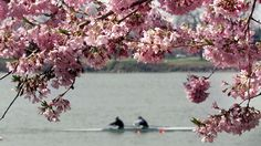 Two men row their boat by a cherry tree on the Potomac River in Washington, DC.
