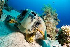 Hawksbill Turtle - Red Sea