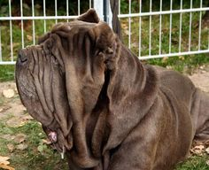 The Neapolitan Mastiff, Italian Mastiff, (Italian: Mistune Napoletano) is a large, ancient dog breed. This massive breed is often used as a guard and defender of family and property due to their protective instincts and their fearsome appearance.  #dogs #mastiff #neapolitan